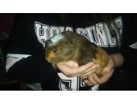 Guinea Pigs (only) for sale