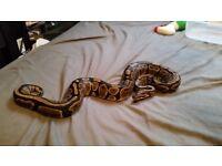 Sub adult royal python for sale with 3ft viv