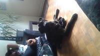 mastiff mix pups for sale