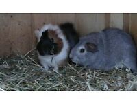 2baby male guinea-pigs ready to go to a new loving home