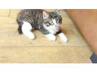beautiful 9 week old male fluffy tabby kitten