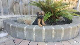 border terrier pup for ready to go now