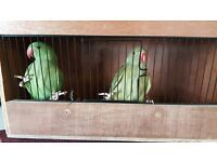 TWO BABY INDIAN RINGNECK PARROTS WITH LARGE CAGE