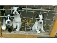 jackahuahua puppies for sale (boys left) jack russell x chihuahua
