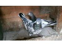 Pigeons sale