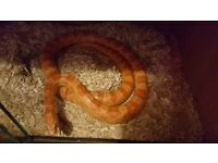 Adult Cotnsnake 4 years old beautiful