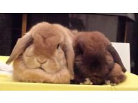 Two well-trained house rabbits (inc. pedigree) with indoor cage and supplies. Come with training