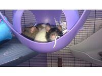 2 free female rats