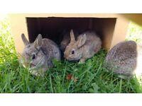 Beautiful Netherland Dwarf Rabbit For Sale.