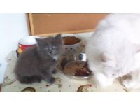 Chinchilla Persian x Ragdoll kitten