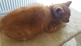 Lovely Ginger Kitten for Sale