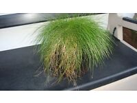 Mature Ornamental Grass Plant