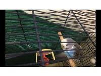 Beautiful budgie comes with the cage and toys £35