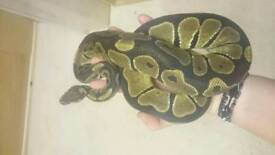 2 x Adult Royal Pythons with vivs only £80