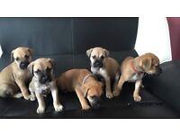 Bullmastiff puppy's