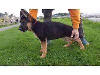 Beautiful German Shepherd KC reg puppies for sale