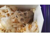 Hamster, 2 cages, hamster ball, bedding, feed all inclusive