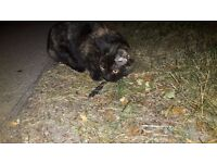Tortoiseshell female cat found on Addenbrooke's campus