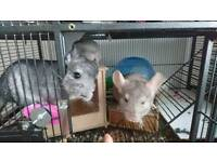 3x female chinchillas (1x mother & 2x Kitts)