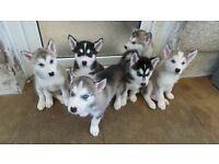 Husky X Malamute 'Huskamute' Puppies'