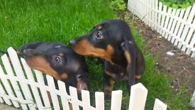 Miniature Dachsund Puppy