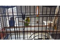 Two budgies for sale