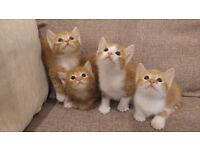 **4 adorable ginger kittens** 3 left