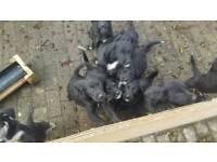 Collie x Golden Retriever Pups