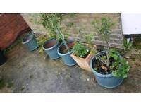 ceramic glazed plant pots large