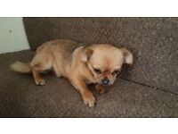 Chug *Rehoming* 1year old *FEMALE* £250 O.N.O