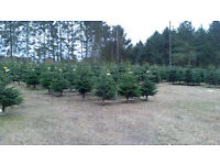 ** PREMIUM REAL NON DROP NORDIC SPRUCE CHRISTMAS TREES / XMAS TREES 6FT+ DELIVERED TO YOUR DOOR **