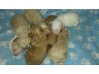 f1b miniature cockerpoo beautiful puppies only 3 stunning boys left