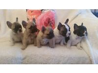 BLUE FAWN FRENCH BULLDOG PUPPIES *KC REG* *READY IN 2 WEEKS * TOP QUALITY SUPER CHUNKY QUALITYPUPS *
