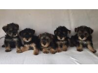 Miniature schnauzer cross Yorkshire terrier puppies