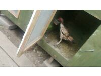 Aseel chicken female