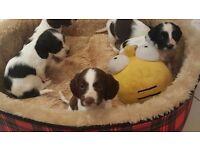 Kc registered springer puppies