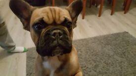 French bulldog kc registered