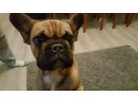 French bulldog kc registered