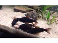 Corydoras corys for sale Pepper, Albino, Sterbai, Venezuelan and more! live tropical fish