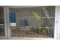 22 baby budgies. lots of colours. £198. for all birds.
