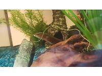Black Spotted Eel for sale