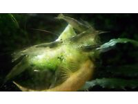 Amano Shrimps young adults (x3)