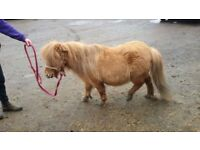 Miniature pedigree shetland pony. Mare