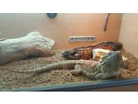 Bearded dragons and set up