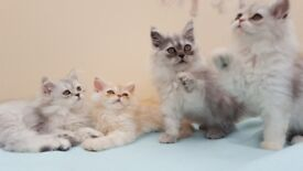 Persian kittens for sale. Ready now ***