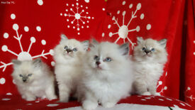 beautiful blue eyes kittens - NEVA MASQUERADE