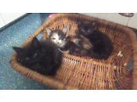 Moggy kittens