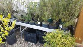 Shrubs cheap to clear £1-5 each