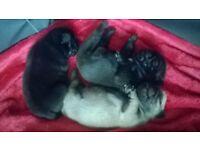 3 Beautiful KC reg pug puppies for sale!