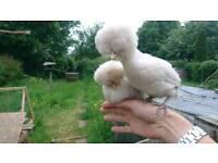 Pair of bantam splash Polands (chickens)